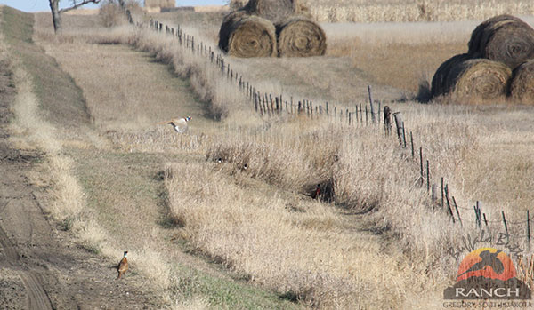 2015 Pheasant Brood Survey Indicates Pheasant Numbers are up 42 Percent