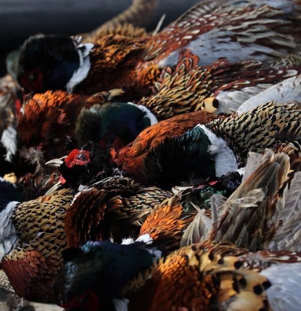 South Dakota Pheasant Hunts fill up fast